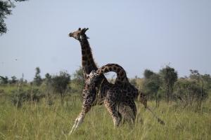Giraffar i slosskamp